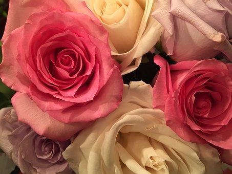 Roses, Pink, Flower, Romance, Petal