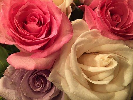 Roses, Pink, Flower, Petal, Romance