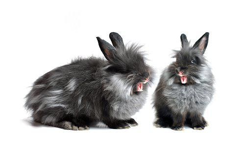 Hare, Rabbit, Black, Grey, White Background