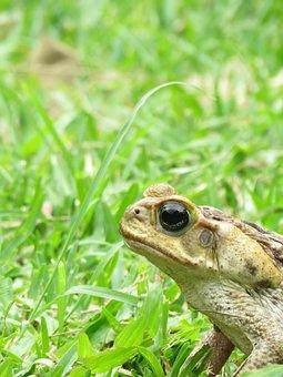 Toad, Animal, Amphibious
