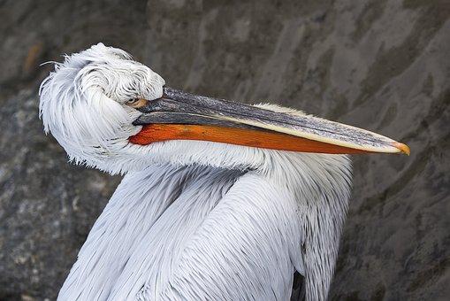 Pelikan, Bird, Bill, Dalmatian Pelican