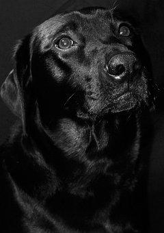 Labrador, Black, Dog, Animal, Pet, Retriever, Canine