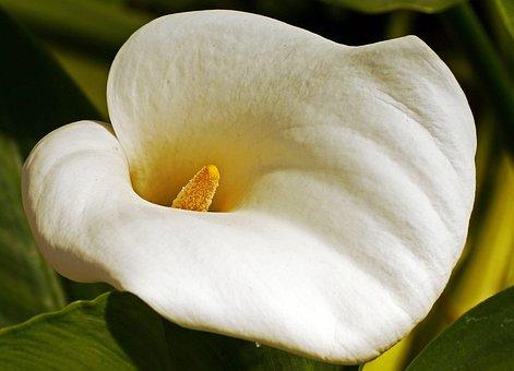 Calla, Blossom, Bloom, Funnel, Houseplant