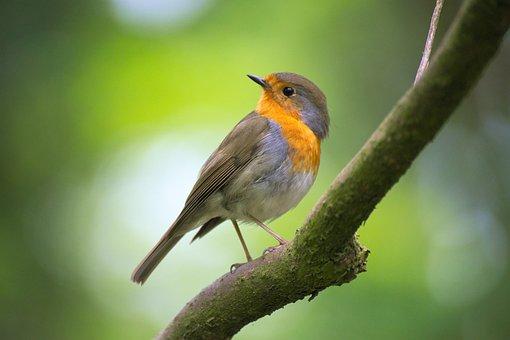 Robin, Bokeh, Bird, Feather, Plumage, Branch