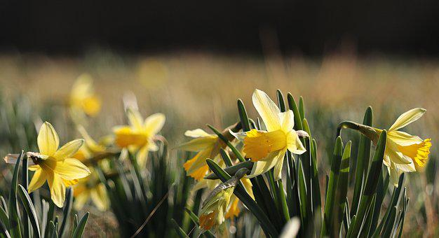 Daffodils, Yellow, Spring, Blossom, Bloom, Flower