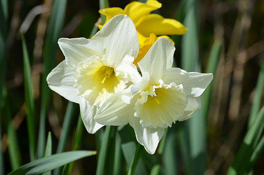 Daffodil, Narcissus, Flower, Blooming, Flowers, Plant