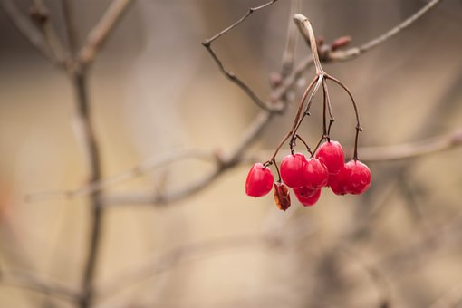 Berry, Branch, Tree, Plant, Red, Bush, Food, Natural