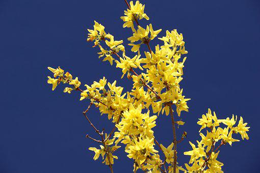 Forsythia, Blossom, Bloom, Yellow, Spring, Gold Lilac
