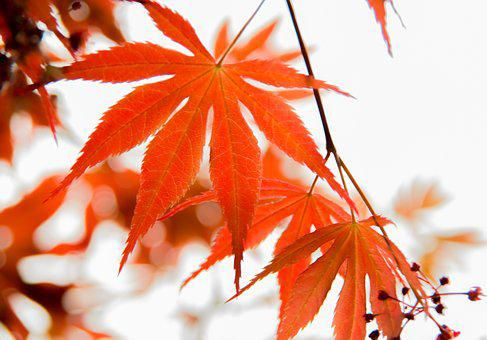 Leaf, Red Leaves, Maple