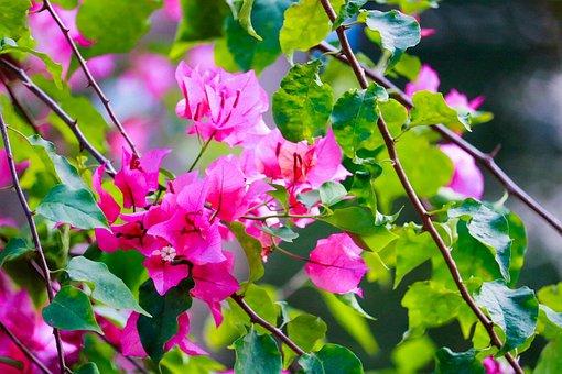 Pink, Flower, Pink Flower, Nature, Green, Spring