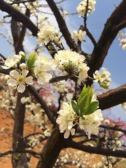 Pear Tree, Pear, Spring