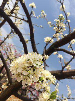 Pear, White, Spring Equinox, Spring, Outing