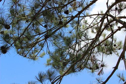 Pine Tree, Echinacea, Blue Sky, White Cloud, Trees