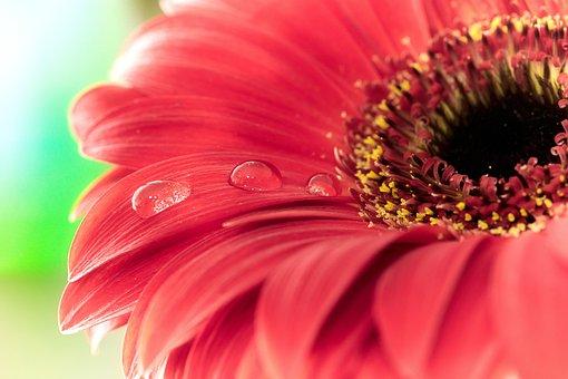 Drip, Gerbera, Flower, Blossom, Bloom, Macro, Plant