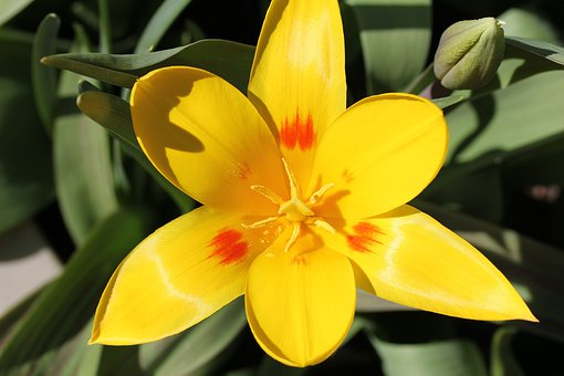 Tulip, Flower, Sunny, Plant, Spring, Yellow, In Flower