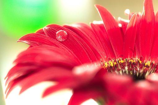 Macro, Flower, Drip, Flourished, Red, Bokeh, Gerbera