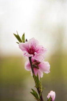 Flower, Spring, Cherry Blossom