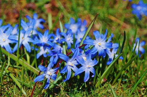 Star Hyacinth, Hyacinth, Spring Flowers, Bright, Blue