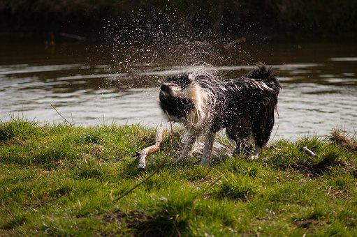 Border Collie, Dog, Waterfront, Water, Nature, Grass