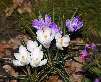 Crocus, Flowers, Spring, Plant, Purple, White, Nature