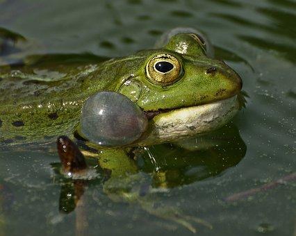 Frog, Lake, Pond, Water, Frogs, Nature, Green, Animal