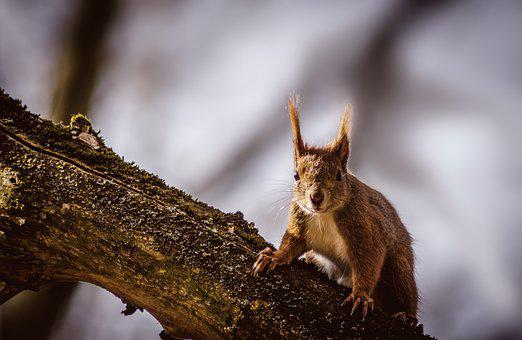 Squirrel, Animal, Nature, Rodent, Forest