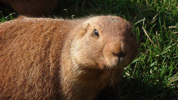 Prairie-dog, Animal, Mammal, Rodent, Wildlife, Zoo