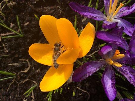Crocus, Bee, Spring, Insect, Garden, Flowering, Yellow
