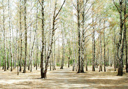 Birch, Birch Forest, Forest, Russia, Nature, Vacation