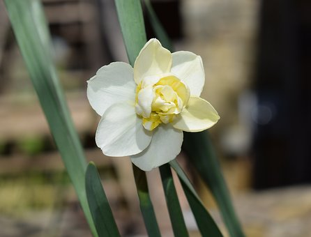 Double Narcissus, Flower, Blossom, Bloom, Bulb Plant