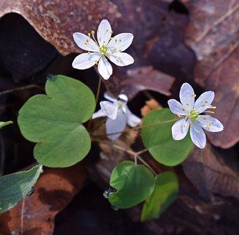 False Rue Anemone, Wildflower, Flower, Blossom, Bloom