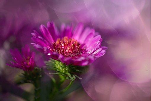 Herbstaster, Pink, Asters, Composites, Blossom, Bloom