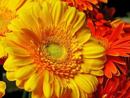 Gerbera, Flower, Blossom, Bloom, Nature, Yellow