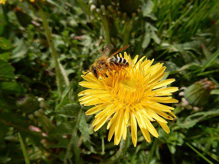 Bee, Flower, Dandelion, Insect, Sprinkle, Nature, Macro
