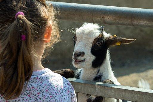 Goat, Zoo, Domestic Goat, Mountain Goat, Livestock