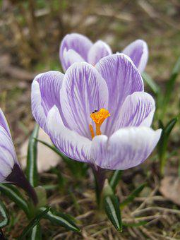 Crocus, Insect, Spring, Macro, Nature, Flying Insect