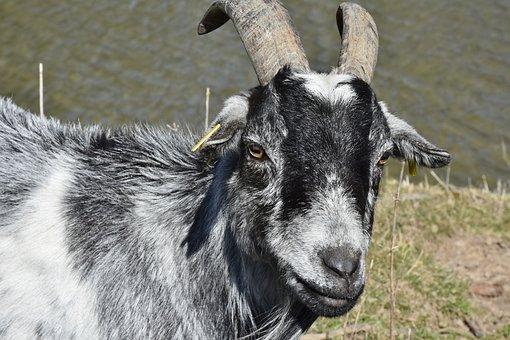Goat, Bock, Horns, Livestock, Billy Goat, Goat's Head