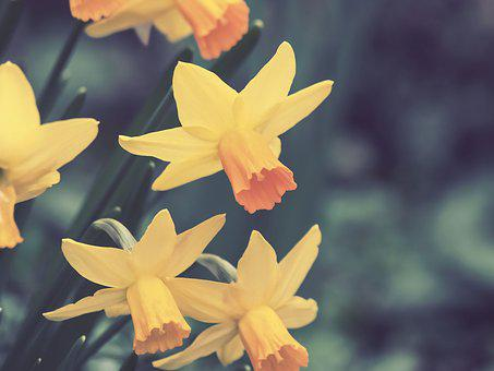 Daffodils, Narcissus, Flower, Spring, Nature, Yellow