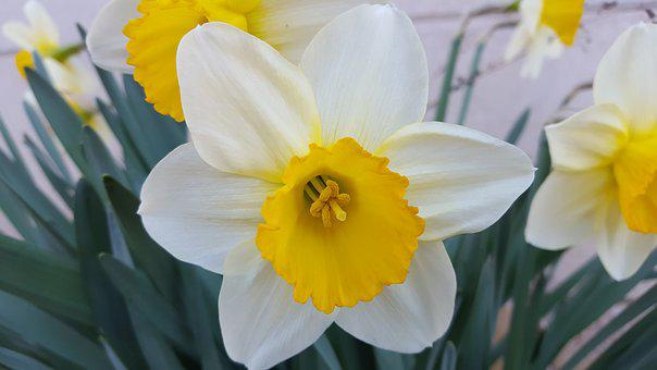 Narcissus, Spring Flowers, Flowers