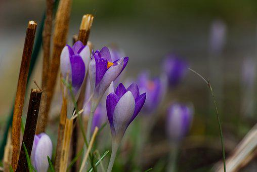 Crocus, Spring, Purple, Flower, Nature, Violet
