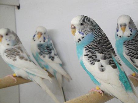 Cage, Parakeet, Pets, Pet, Bird, Small Parrot, Plumage