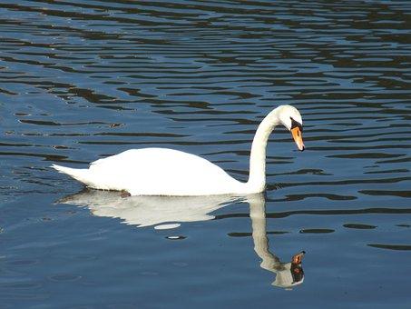 Swan, Pond, Water, Wildlife Photography, Water Bird