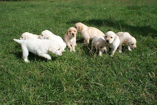 Puppies, Labradors, Biszkoptowe
