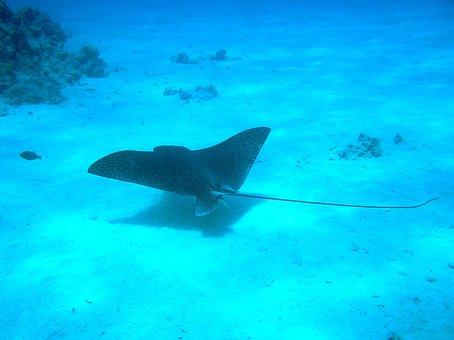 Manta Ray, Underwater, Manta, Ocean, Ray, Fish, Sea