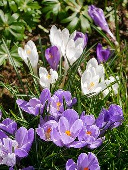 Crocus, Spring, Meadow, Crocus Meadow, Spring Flower