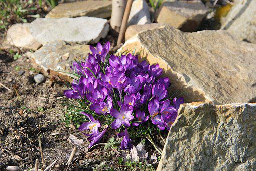 Crocus, Spring Flowers, Spring, Flowers, Early Bloomer