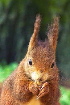 Squirrel, Animals, Nature, Portrait