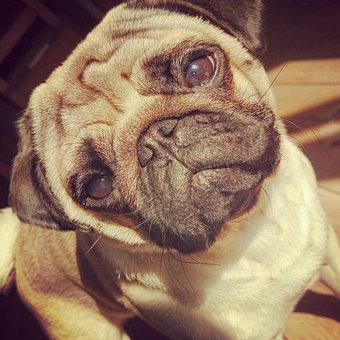 Pug, Dog, Animal, Breed, Thoroughbred, A Friend Of Man