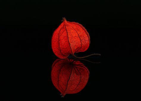 Lampionblume, Illuminated, Studio, Physalis, Toxic