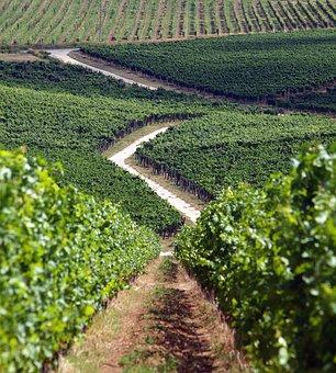 Grape, Vineyard, Villány, Kisharsány, Wine Region